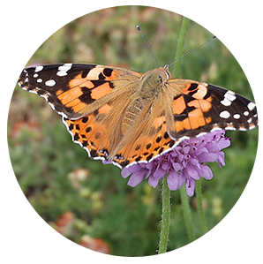 Belle dame papillon